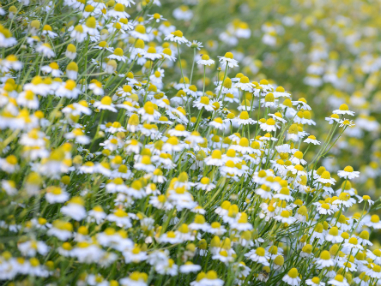 matricaria chamomilla chamomile a pharmacognosy review Common name(s): matricaria recutita is known as german , hungarian , wild , or  genuine chamomile  uses and pharmacology  in a study designed to  investigate the efficacy of chamomile cream in acute radiation.