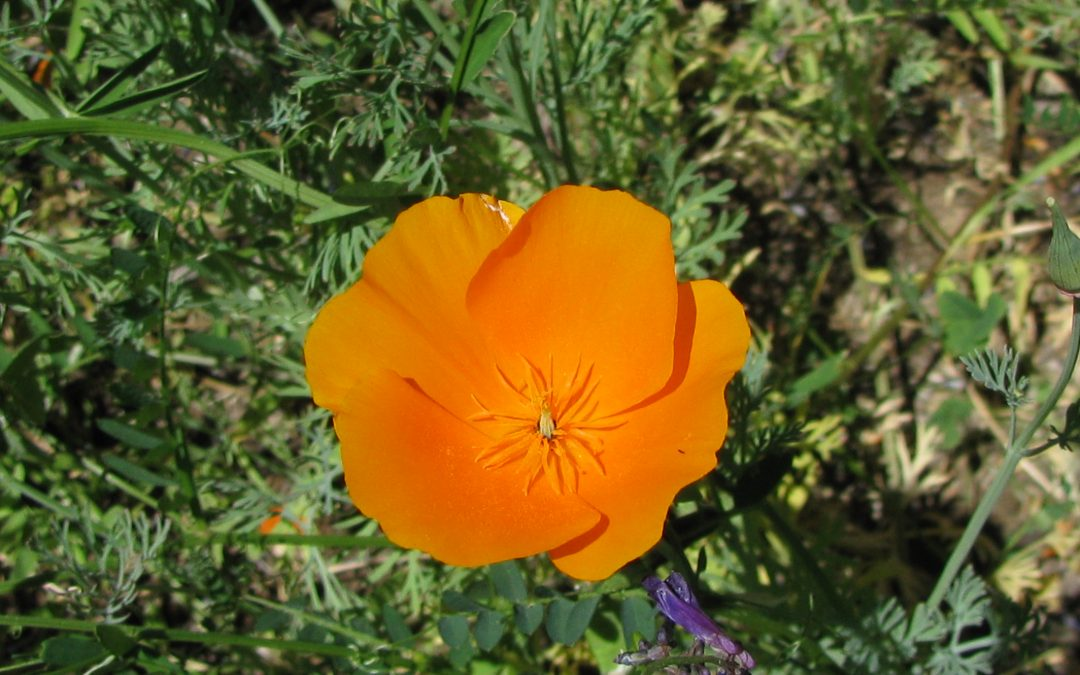 Golden Poppy Balm soothes and calms