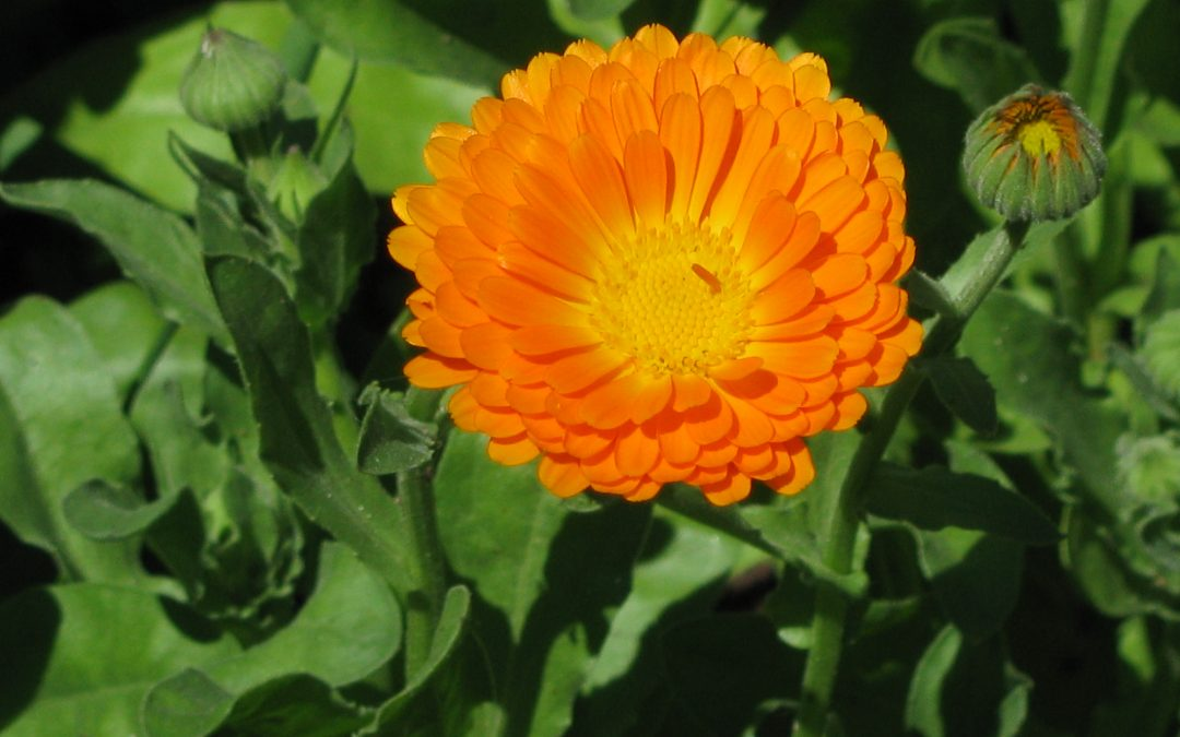 Calendula, merry and gold